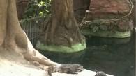 Вот такие друзья обнаружены в зоопарке Ташкента: крокодил и черепаха вполне довольны совместной жизнью в общей квартире. Делить им особо нечего — всегда накормлены […]