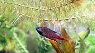Макропод — рыбка простая, не очень яркая, малопривлекательная. Куда уж ей до петушка-красавца! Но если чуть-чуть макияжа, правильная подсветка и эффектный антураж, то заиграет […]
