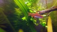 Вишневый барбус — рыбка небольшая, но очень симпатичная. Особенно выделяются самцы своей ярко-алой расцветкой. Самки чуть бледнее, но тоже хороши. Содержать вишневых барбусов надо […]