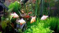 Лучшее лекарство от осенней ненастной хандры — кусочек летнего солнца. А вот его лучики — симпатяги суматранские барбусы альбиносы. А вокруг них летний сад, […]