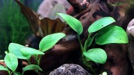 То ли рыбка маленькая, то ли растение большое. Кстати, успели заметить макропода в зарослях анубиаса? Если нет, приглядитесь — вон он, малек, по центру. […]