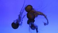 Наверняка, в движении это завораживающее действо. Но и фотография способна передать красоту удивительных существ. Танцы медуз. Да, их движения — словно необыкновенный танец, за […]