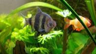 Черный барбус менее популярен среди любителей, чем хорошо всем известный суматранский, но тоже хорош. Очень эффектны самцы черных барбусов во время брачного периода. Самки […]
