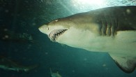 Этот зубастый ужас вдруг появился из глубины, щелкнул зубами и поплыл в нашу сторону… Радовало лишь одно — акулу и фотографа разделяло толстенное стекло […]