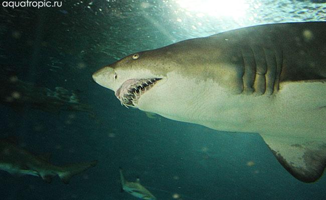 акулы фото