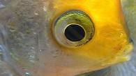 Еще один аквариумный ангел — скалярия. Большие и выразительные глаза не дают усомниться в том, что скалярии — одни из самых красивых пресноводных аквариумных […]