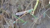 Уж и осень давно настала, а стрекозы по-прежнему летают. Теперь зеленая стрекоза на стебле сидит, о чем-то думает. Пора бы придумать, ведь скоро зима.