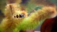 Последним героем на нашем фотоблоге в уходящем 2015 году будет этот бычок-пчелка. Рыбка маленькая, красивая, вполне достойна того, чтобы на ней завершить год уходящий […]