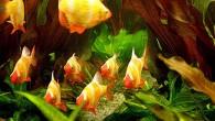 Рыжие барбусы разнообразят любой аквариум, особенно с богатой растительностью. Но нужно помнить, что они — те еще задиры. Поэтому не поздоровится тем их соседям […]