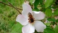 А сейчас будет рекламный пост. Ходил я по саду в одном месте, держа в руке свою Lumia 520. Увидел пчелу, уютно присевшую на распустившийся […]
