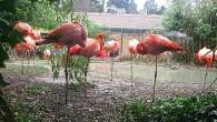 Вот такие «домики» — отдыхающие розовые фламинго. Яркий розовый цвет оперения птиц возможно только при их кормлении специальными кормами. Фотография сделана в зоопарке Вены.