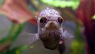 Макропод — старый знакомый, всем хорошо известный, аквариумный обитатель. И несмотря на появление новых разнообразных видов рыб, макроподы по-прежнему являются популярными рыбками во многих […]