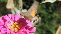 Давно знаю это существо, но только недавно внимательно его рассмотрел: то ли бабочка, то ли шмель, то ли очень маленькая птица. А на самом […]