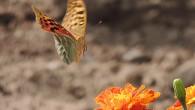 Еще одна фотография из серии «Под макросъемкой». Бабочка, идущая на «посадку». Удачный кадр, сделанный, в общем-то, непрофессиональной камерой, непрофессиональным фотографом. Бабочка хороша! /Автор — […]