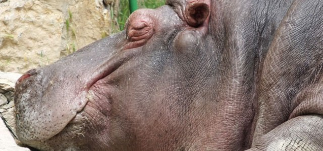 Не надо из болота тащить бегемота! Потому что бегемот спит. Фотография сделана в Ташкентском зоопарке. Автор фотографии – Александр Азизов, Ташкент.
