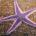 Морские звезды — необычные существа, удивляющие своим разнообразием. Вот бы такую иметь в своем аквариуме! А ведь некоторые аквариумисты успешно содержат морских звезд в […]