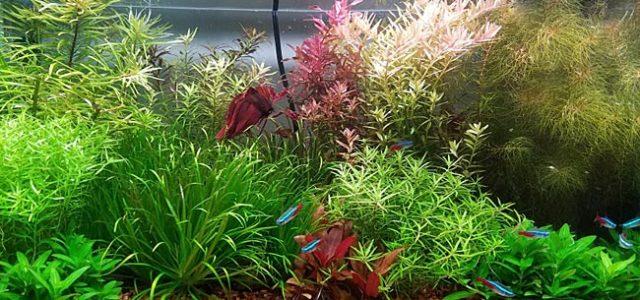 Этот небольшой аквариум с шикарным садом стоит того, чтобы им восхищались. Десяток видов живых растений уместились и благополучно существуют вместе в объеме менее пятидесяти […]